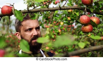 A close-up of mature man picking apples in orchard in...