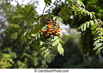 A close up of mountain ash berries