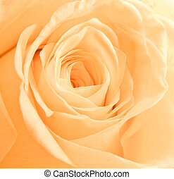 orange rose petals
