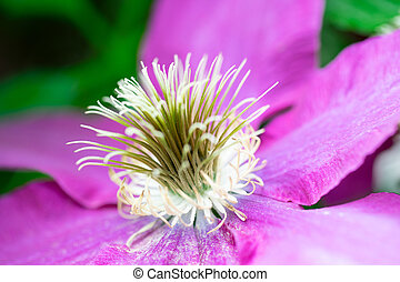 A close-up of purple flower with stamen