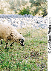 A close-up of sheep with wool grazing in the grass.