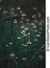 A close up of some daisies in the middle of the grass