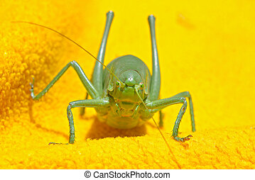 A close up of the big grasshopper on yellow