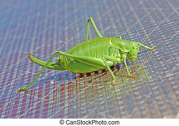 A close up of the big grasshopper
