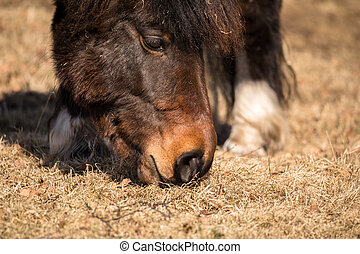 A close up of the muzzle of a pony grazing, eating brown...