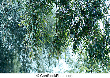 A close-up of the willow leaves, in the summer in city green trees. Autumn colors of leaves on a tree.
