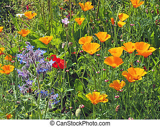 a close up of vivid yellow california poppies a red poppy and other wildflowers flowering in a meadow in bright summer sunlight