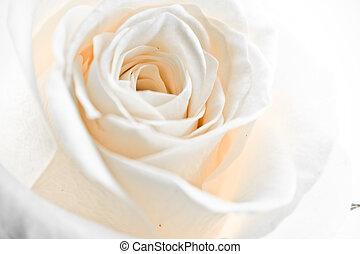 white rose petals - a close-up of white rose petals