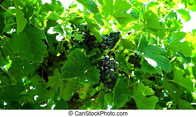 A close-up on grapes