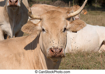 close up on the head of a cow with flies