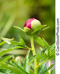 flower bud - A close-up photo of a flower bud.