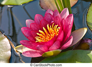 A close-up photo of water lily