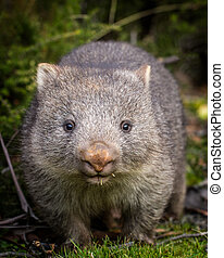 A close up portrait of a baby bare nosed wombat (Vombatus ursinus)