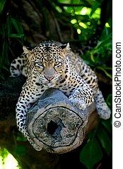 Leopard - A close up shot of an African Leopard