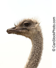 Ostrich - A close up shot of an Ostrich (Struthio camelus)...