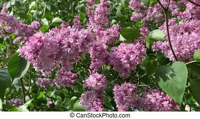 A close up video of blossoming branches of a lilac, sunny weather. High quality footage