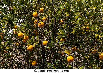 close up view of a fruit tree loaded with juicy oranges in an orange grove