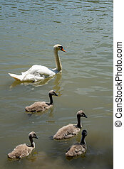 close up view of a white whooping swan mother and four young chicks