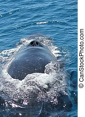 A close up view of humpback blow holes