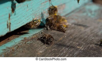 A close-up view of the working bees bringing flower pollen to the hive on its paws. Honey is a beekeeping product. Bee honey is collected in beautiful yellow honeycombs
