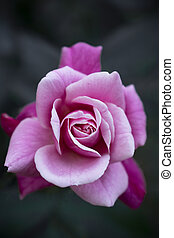 A closeup image of pink rose with dark background
