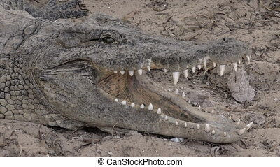 A closeup of a crocodiles head with opened jaws - A closeup...