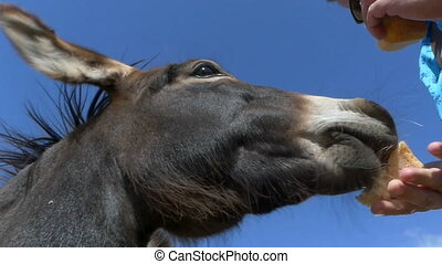 A closeup of a donkey eating bread from some hands in slo-mo...