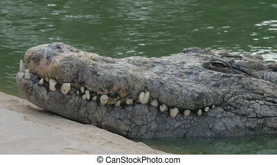 A closeup of a huge crocodiles snout over the water - A...