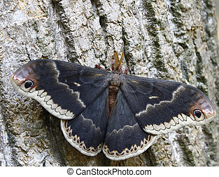 A closeup of a large colorful moth on poplar tree bark outside during the daytime