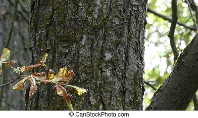 A closeup of a maple tree trunk with thick and thin branches in autumn