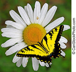 A closeup of a single Daisy flower with a Swallowtail...