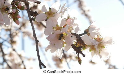 A closeup of an almond tree with pink flowers with bee -...