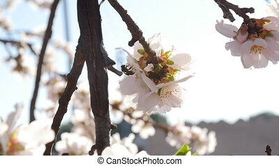 A closeup of an almond tree with pink flowers with bee