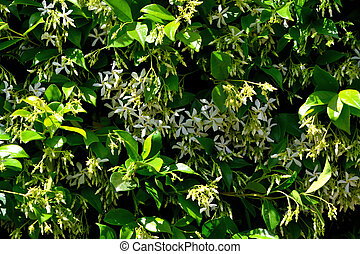 A closeup of freshly blossomed trachelospermum jasminoides flowers, illuminated by the spring sun