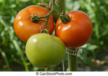 closeup of organic tomatoes in the garden