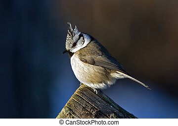 A closeup of the Crested Tit in the Sun