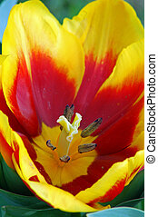 Yellow Red Tulip Flower in Bloom