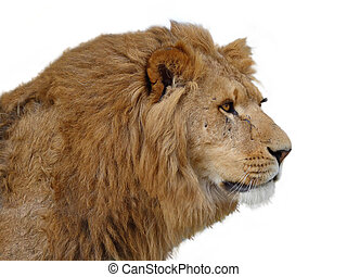A closeup portrait of a beautiful African lion of a white ...