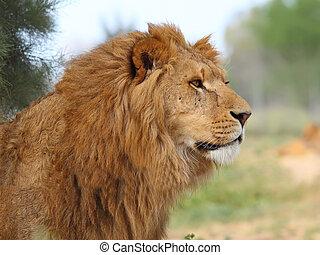 A closeup portrait of a beautiful African lion.