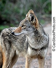 Coyote in South Texas - A closeup shot of a Coyote in South ...