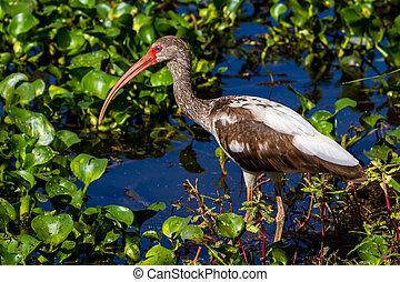 Long Legged Ibis Bird - A Closeup Shot of a Wild Long Legged...