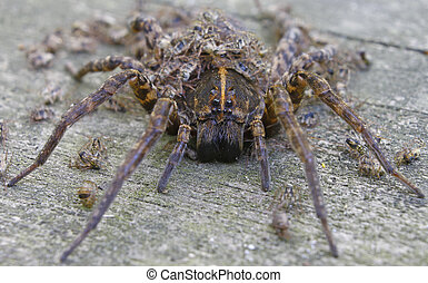 A closeup using a shallow depth of field of a Female Wolf Spider with her Babies all over and around her with the main attention being brought to the face and eyes.