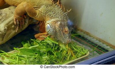 A closeusp shot of a big iguana in a pet shop. free rare animals. Iguana is eating plants.
