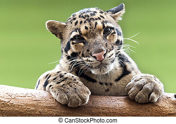 A Clouded leopard - A clouded leopard resting atop a tree...