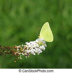 A Cloudless Sulphur (Phoebis sennae) on the tip of a white...