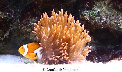 A Clown Anemonefish sheltering among the tentacles of its...