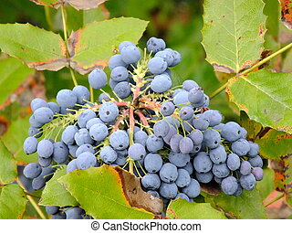 A cluster of bluish berries