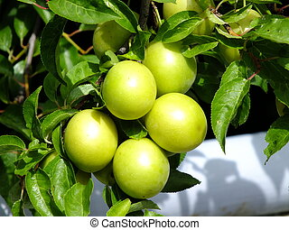 A cluster of green plums