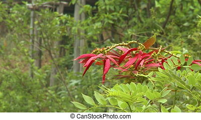 A cluster of leaves from a Redtip photinia plant