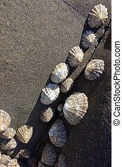 A cluster of Limpets